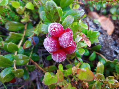 Reisefeder Finnmark Benstem Norwegen Natur Tundra Preisebeere