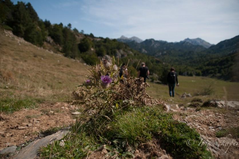 Distel Pyrenäen