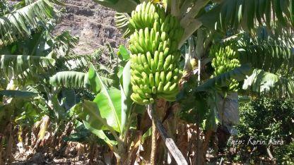 Reisefeder La Gomera Karin Kura Bananen