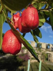 Akee Fruit
