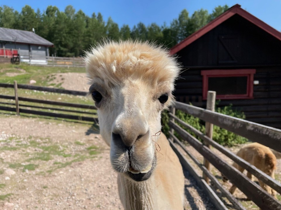Lama på Finnskogen Kro og motell