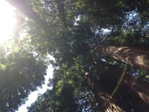 Redwoods at Muir Woods Photo: Mette S. Fjeldheim