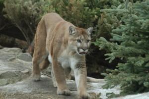 Cougar Foto: privat