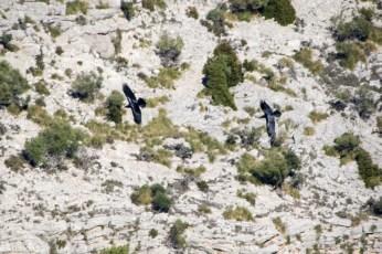 Black Vulture, gribb, i Terra de Tramuntana, Mallorca