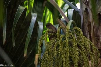 Fugleliv i Vallée de Mai Praslin Seychellene