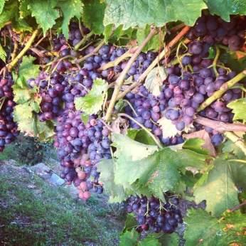 Vindruer klar for innhøsting © Tennfjord