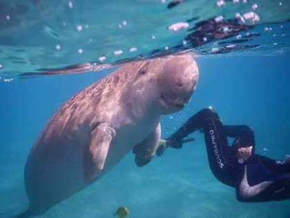 Eine Seekuh oder Dugong ist wie der Delphin ein Säugetier.