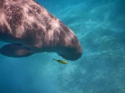 Im Roten Meer und in den Everglades (Florida) gibt es Seekühe, im Englischen Manatees genannt.