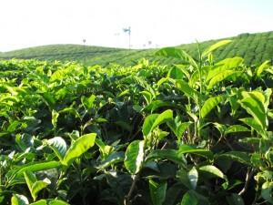 Teeplanze und - plantage beim Periyar