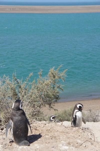 Pinguine auf der Peninsula Valdes