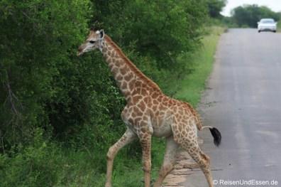 Junge Giraffe flüchtet