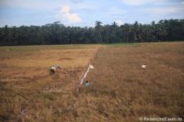 Reisfeld bei der Ernte