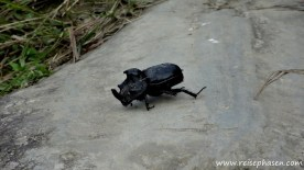 rießiger Nashornkäfer ;-)