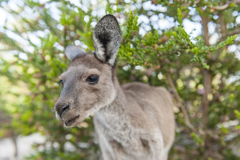 Känguru im Northern Territory