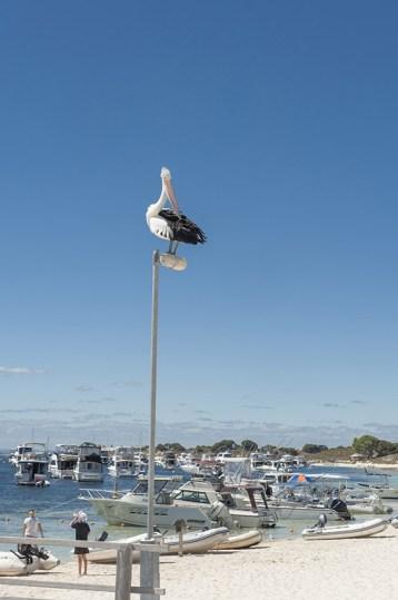 Rottnest Island: Paradeplatz für einen Pelikan