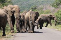 Elefantenherde im Hluhluwe Imfolozi Park