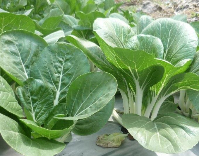 mencegah-diabetes-dengan-sayuran-sawi