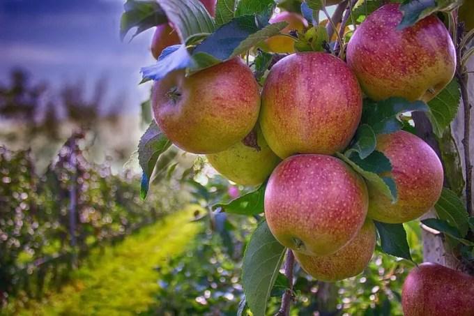 mencegah diabetes dengan apel