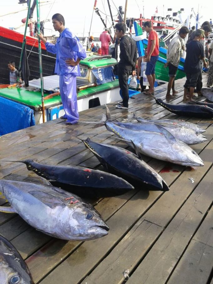 harga ikan tuna segar