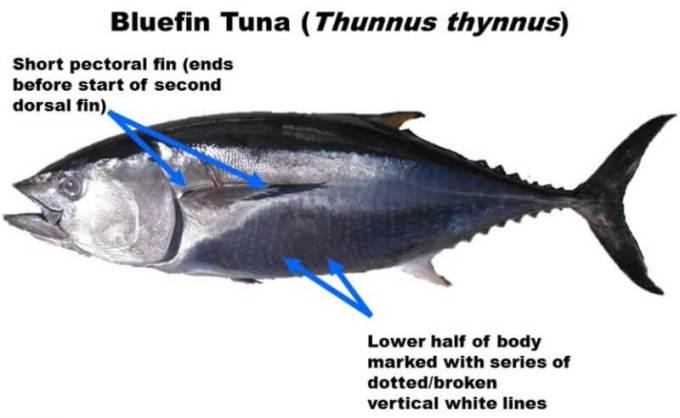 karakter ikan tuna sirip biru