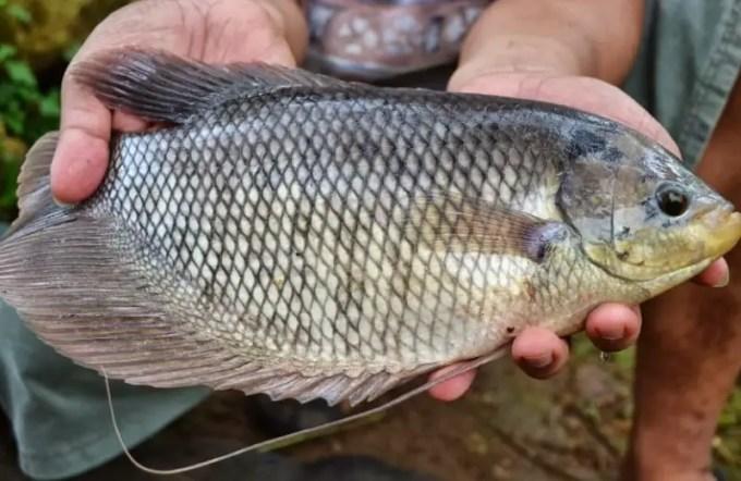 tips budidaya ikan gurame agar cepat besar