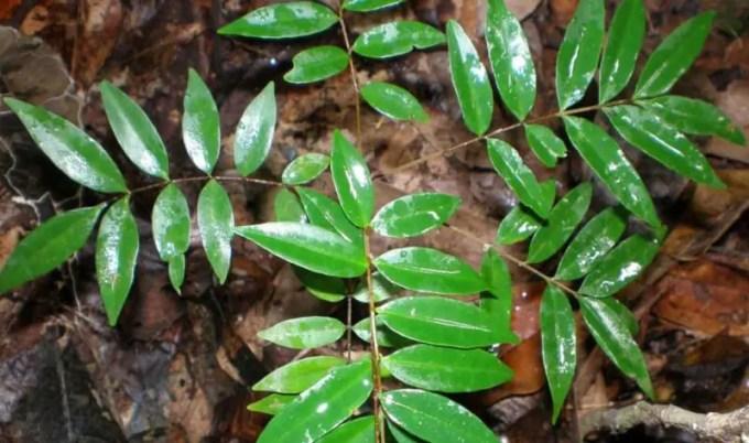 pohon tongkat ali