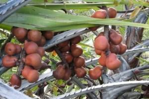 pohon buah zuriat mekah