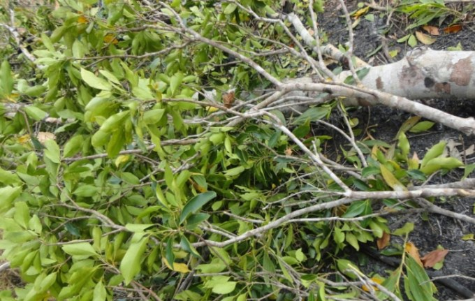 pohon cendana papua