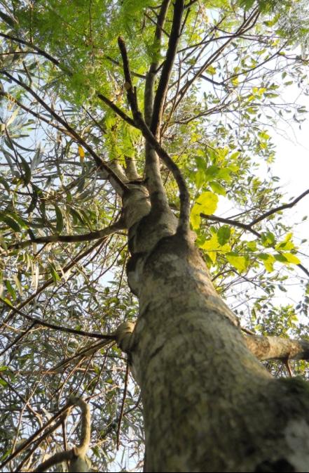 pohon cendana