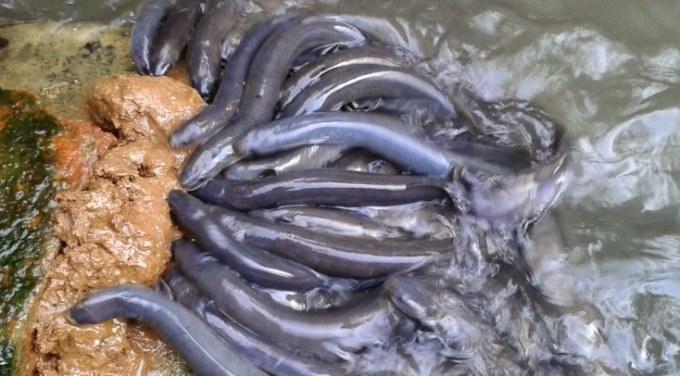 pembesaran ikan sidat