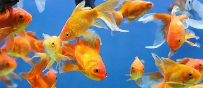manfaat buah mengkudu untuk ikan