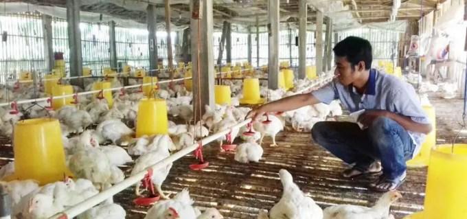 keuntungan beternak ayam broiler