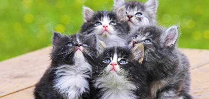 harga kucing persia di pasaran