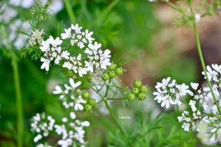Coriander Flower and Seed Heads