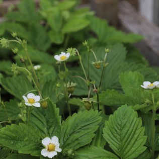Alpine Strawberry Plants may 2018