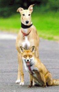 Greyhound and fox