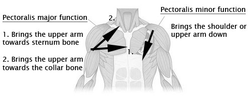 chest muscles exercises function