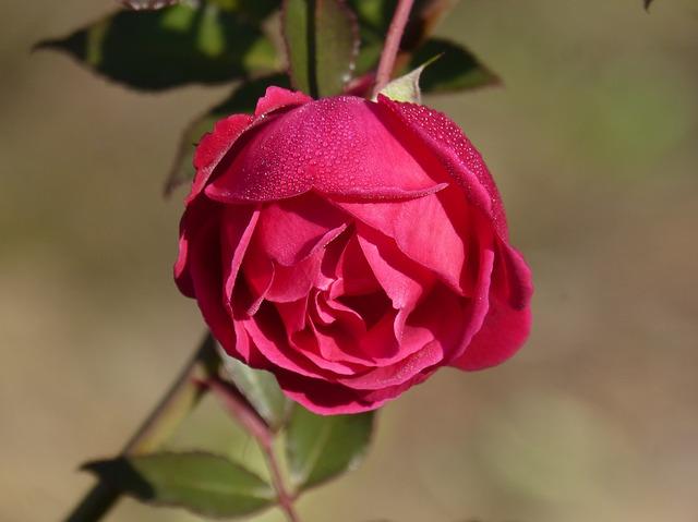 rosa photo