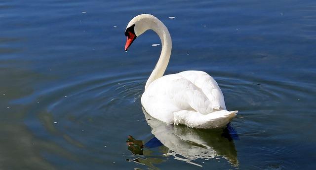 cisnes  photo