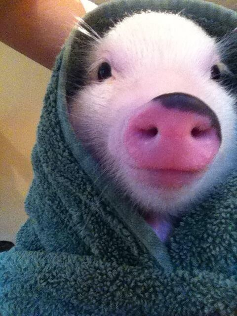 258 Relax and Succeed - Pig in a blanket