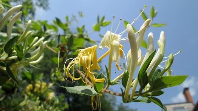 Fleur de Ylang Ylang