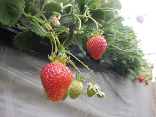 イチゴ栽培風景