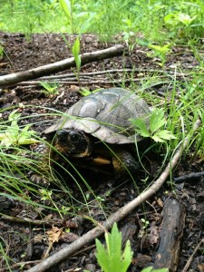 box turtle, painted turtles,wisconsin turtles, mapping coordinates, transportation engineering and planning,gis mapping, mapping gps, civil engineering firms, Site Development, site development plan, civil engineering definition, wi civil engineering consultants, Wisconsin engineering companies