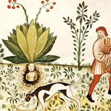 1024px-Tacuinum_Sanitatis_Mandrake_Dog