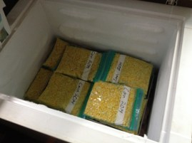 We ended up with 43 bags (2 cups each) of frozen corn, 5 ears eaten on the cob, and a quart of pickled corn.