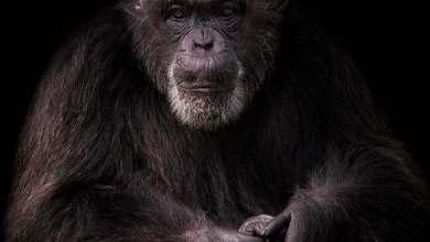 Photo of Murió este martes la mona María en el Zoológico Nacional