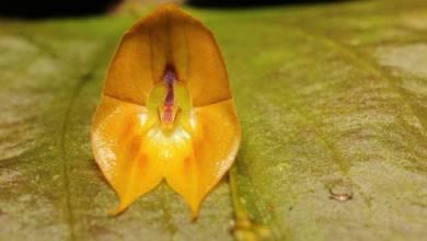 Photo of Descubren una rara especie de orquídea gigante en Ecuador