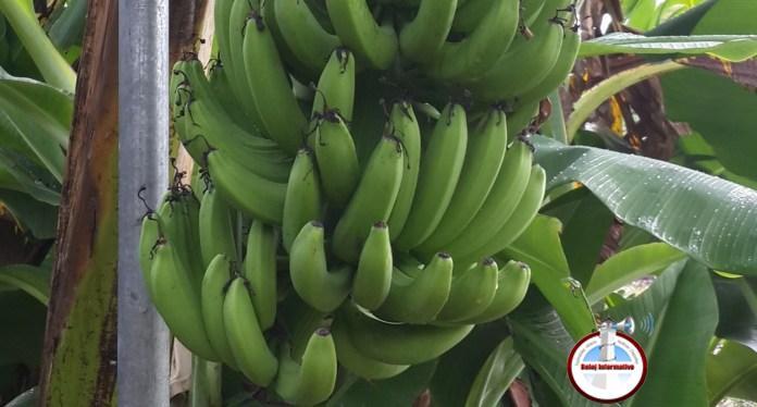 Photo of El gobierno se alista para evitar que un hongo peligroso llegue a los bananos dominicanos
