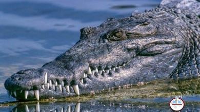 Photo of Enorme hembra de cocodrilo operada en Florida para sacarle un zapato