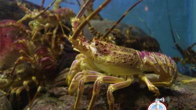 Photo of CODOPESCA establece veda para pesca y comercialización de langostas